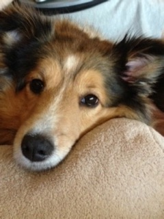 Chase the Water: 5 Success Values I've Learned From My Shelties